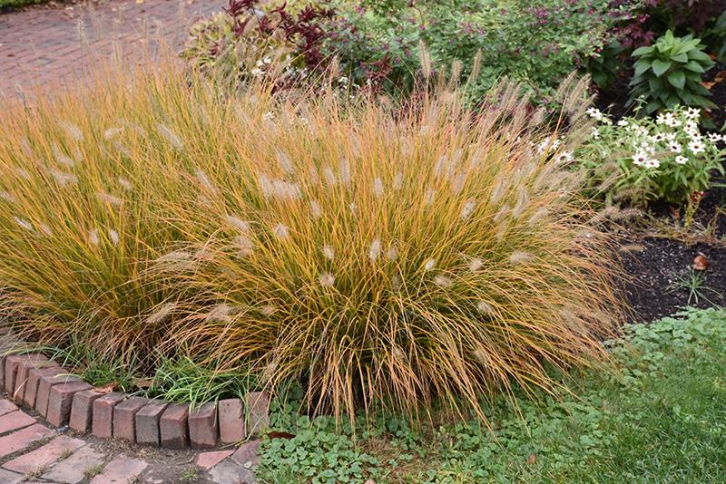 Hameln Dwarf Fountain Grass (Pennisetum alopecuroides 'Hameln') at Wolf Hill Home & Garden