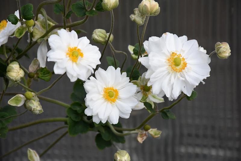 Whirlwind Anemone (Anemone x hybrida 'Whirlwind') at Wolf Hill Home & Garden