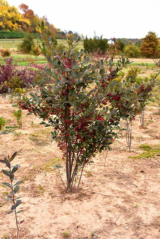 Brilliantissima Red Chokeberry (Aronia arbutifolia 'Brilliantissima') at Wolf Hill Home & Garden