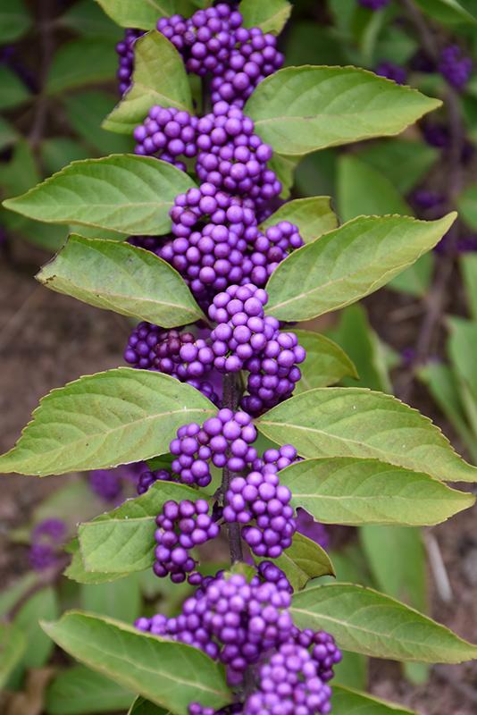 Purple Beautyberry (Callicarpa dichotoma) at Wolf Hill Home & Garden
