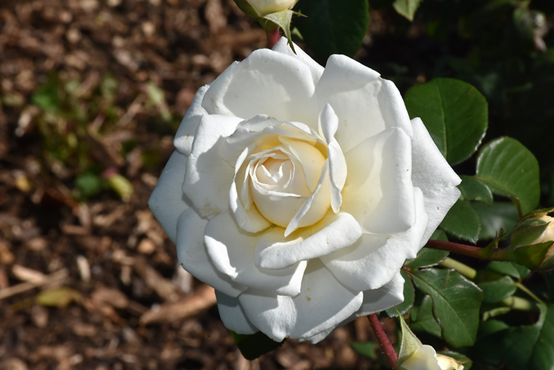 Cloud 10 Rose (Rosa 'Radclean') at Wolf Hill Home & Garden