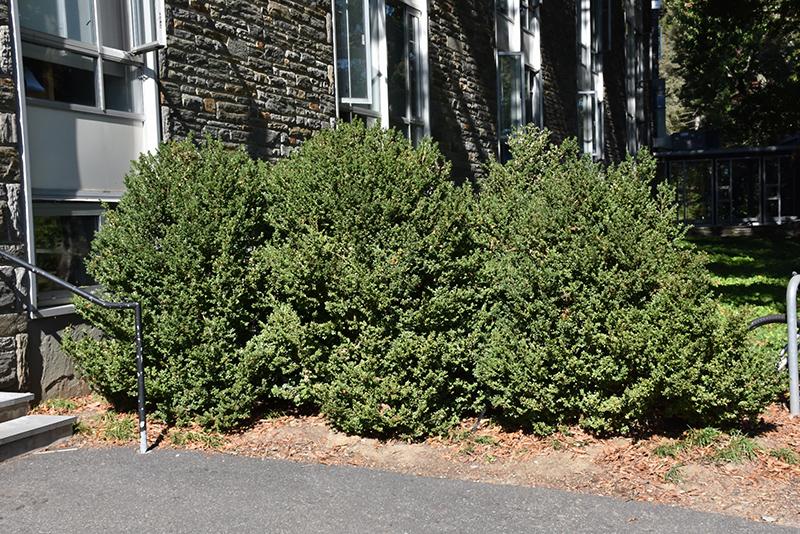 Green Mountain Boxwood (Buxus 'Green Mountain') at Wolf Hill Home & Garden