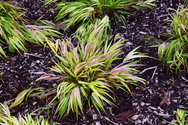 All Gold Hakone Grass (Hakonechloa macra 'All Gold') at Wolf Hill Home & Garden