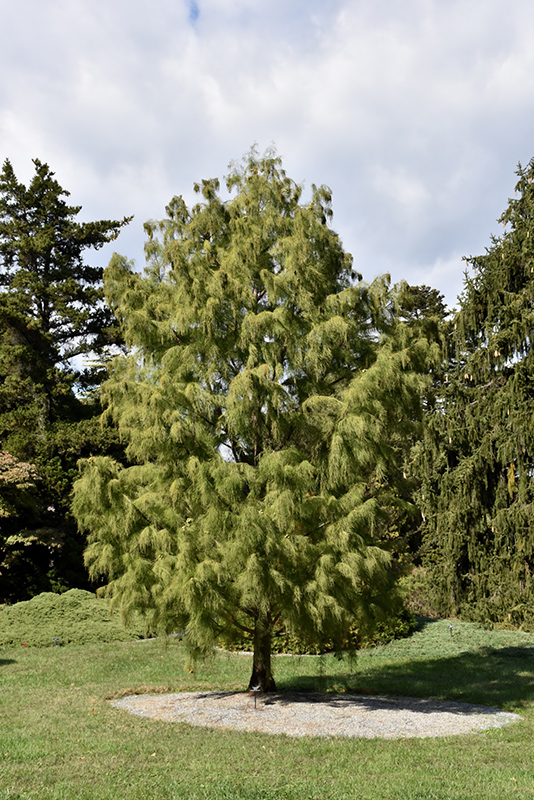 Morris Pond Cypress (Taxodium ascendens 'Morris') at Wolf Hill Home & Garden