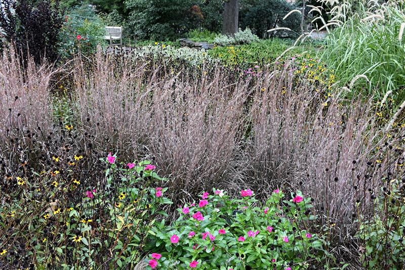 Standing Ovation Bluestem (Schizachyrium scoparium 'Standing Ovation') at Wolf Hill Home & Garden