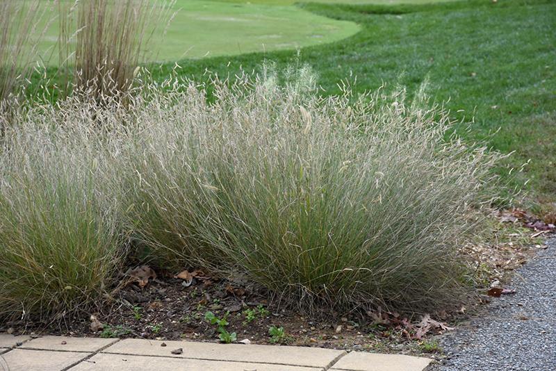 Blonde Ambition Blue Grama Grass (Bouteloua gracilis 'Blonde Ambition') at Wolf Hill Home & Garden