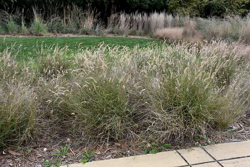 Karley Rose Oriental Fountain Grass (Pennisetum orientale 'Karley Rose') at Wolf Hill Home & Garden