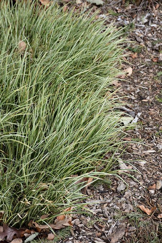Variegated Grassy-Leaved Sweet Flag (Acorus gramineus 'Variegatus') at Wolf Hill Home & Garden