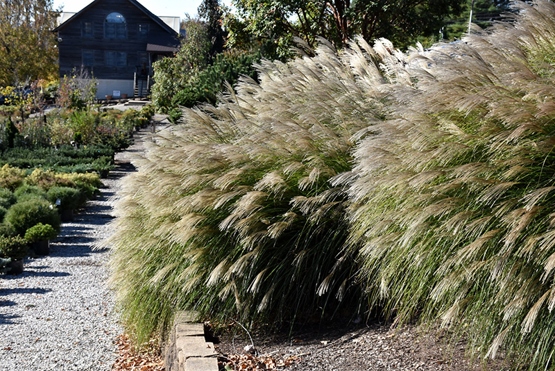 Gracillimus Maiden Grass (Miscanthus sinensis 'Gracillimus') at Wolf Hill Home & Garden