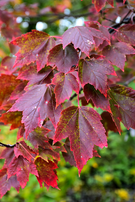 Red Sunset Red Maple (Acer rubrum 'Red Sunset') at Wolf Hill Home & Garden