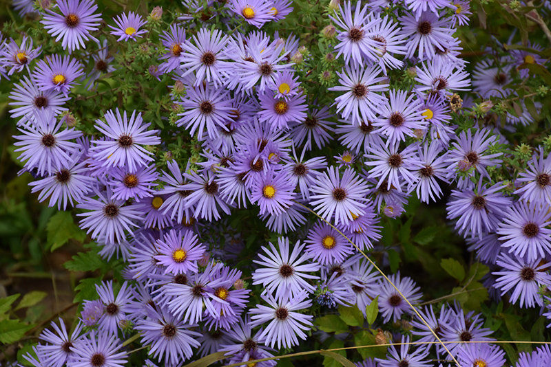 October Skies Aster (Aster oblongifolius 'October Skies') at Wolf Hill Home & Garden