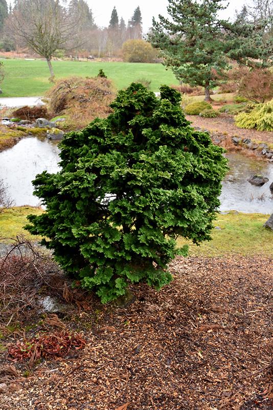 Dwarf Hinoki Falsecypress (Chamaecyparis obtusa 'Nana Gracilis') at Wolf Hill Home & Garden