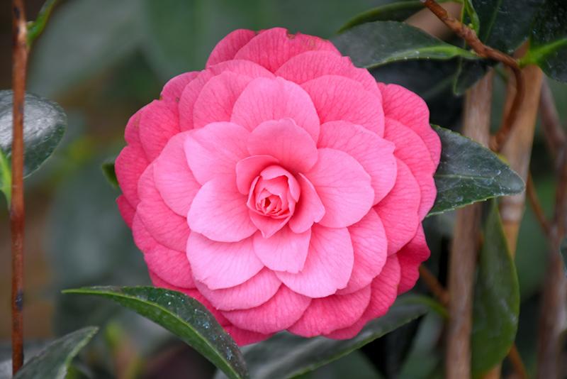 April Kiss Camellia (Camellia japonica 'April Kiss') at Wolf Hill Home & Garden
