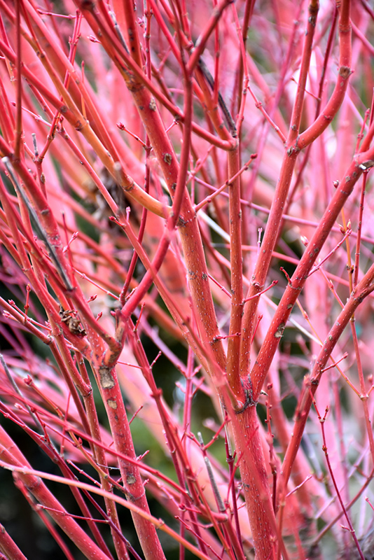 Coral Bark Japanese Maple (Acer palmatum 'Sango Kaku') at Wolf Hill Home & Garden