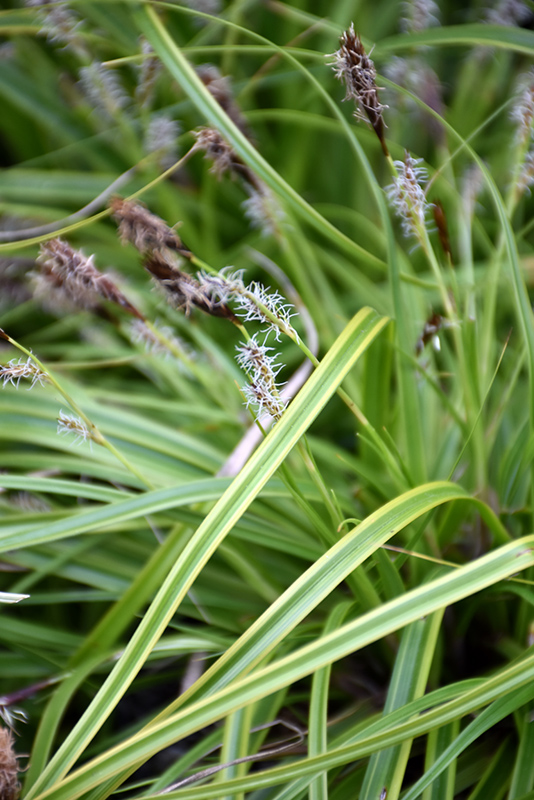 EverColor Everlime Japanese Sedge (Carex oshimensis 'Everlime') at Wolf Hill Home & Garden