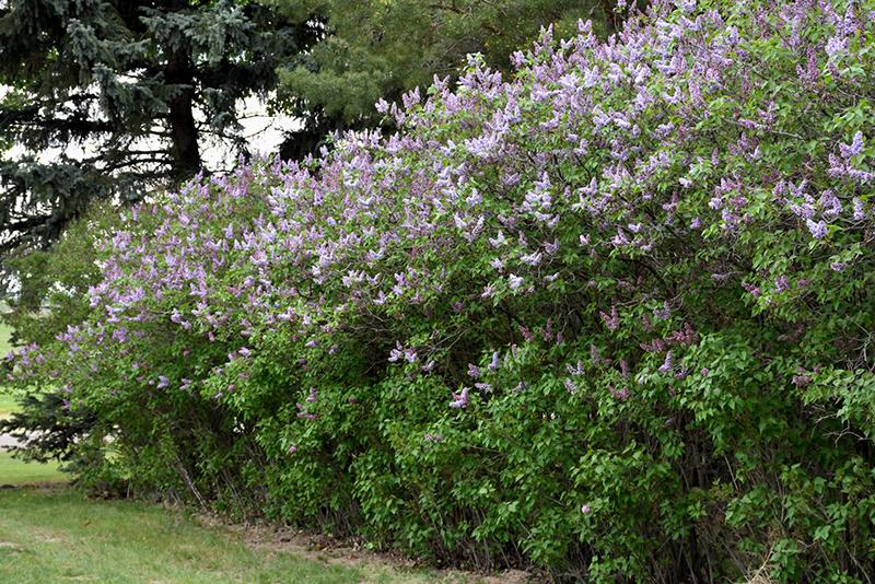 Katherine Havemeyer Lilac (Syringa vulgaris 'Katherine Havemeyer') at Wolf Hill Home & Garden