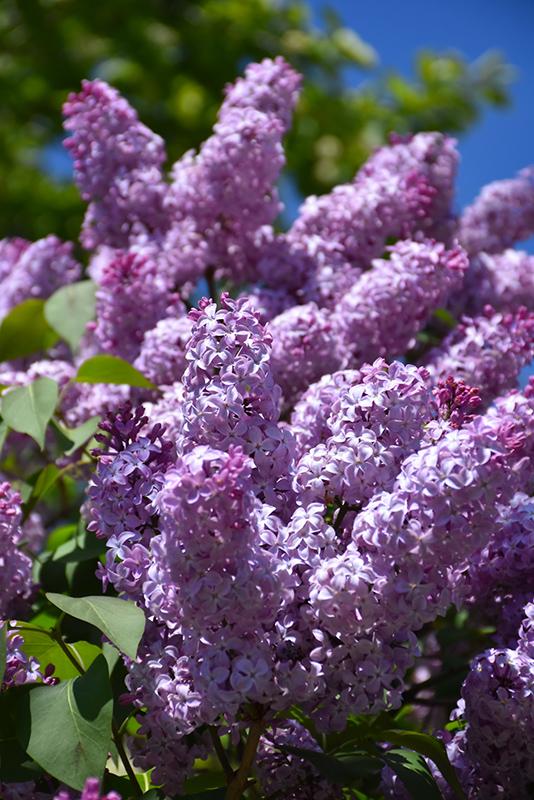 Common Lilac (Syringa vulgaris) at Wolf Hill Home & Garden