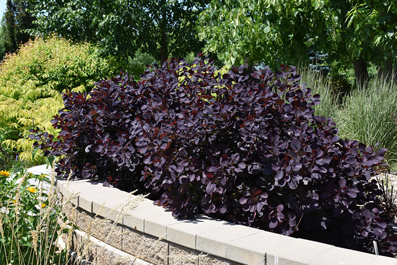 Royal Purple Smokebush (Cotinus coggygria 'Royal Purple') at Wolf Hill Home & Garden