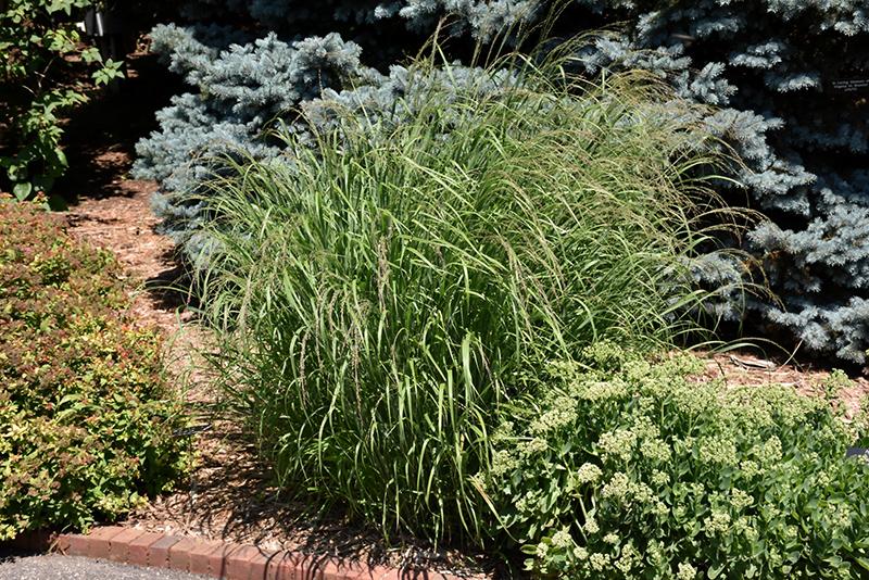 Red Switch Grass (Panicum virgatum 'Rotstrahlbusch') at Wolf Hill Home & Garden