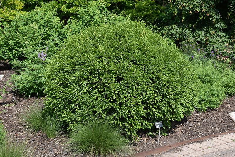 Green Gem Boxwood (Buxus 'Green Gem') at Wolf Hill Home & Garden