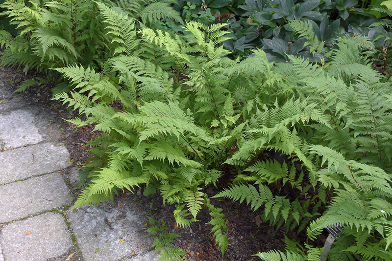 Lady in Red Fern (Athyrium filix-femina 'Lady in Red') at Wolf Hill Home & Garden