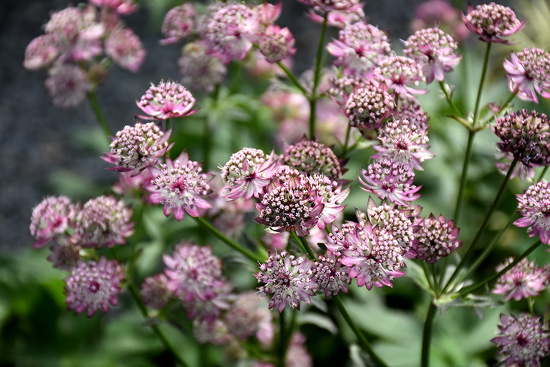 Abbey Road Masterwort (Astrantia major 'Abbey Road') at Wolf Hill Home & Garden