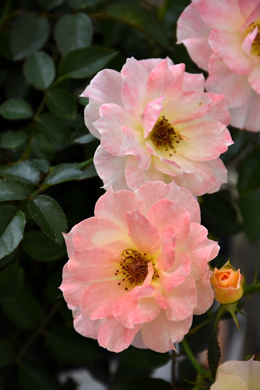 Oso Easy Italian Ice Rose (Rosa 'Chewnicebell') at Wolf Hill Home & Garden