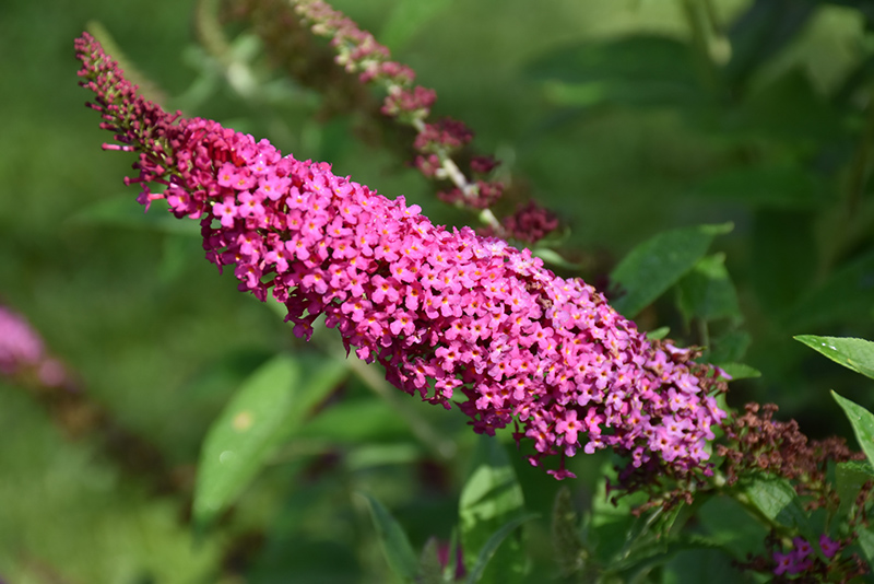 Miss Molly Butterfly Bush (Buddleia 'Miss Molly') at Wolf Hill Home & Garden