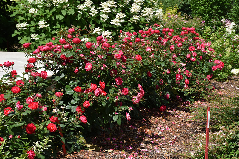 Oso Easy Double Red Rose (Rosa 'Meipeporia') at Wolf Hill Home & Garden