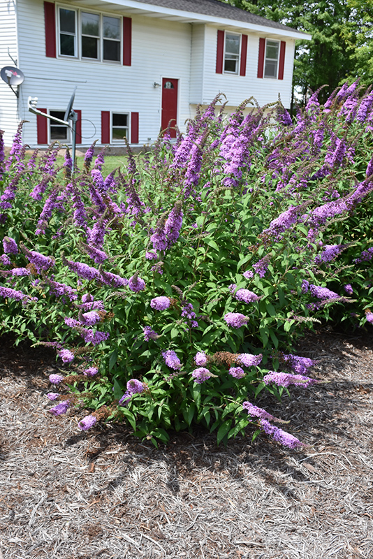 Peacock Butterfly Bush (Buddleia davidii 'Peakeep') at Wolf Hill Home & Garden