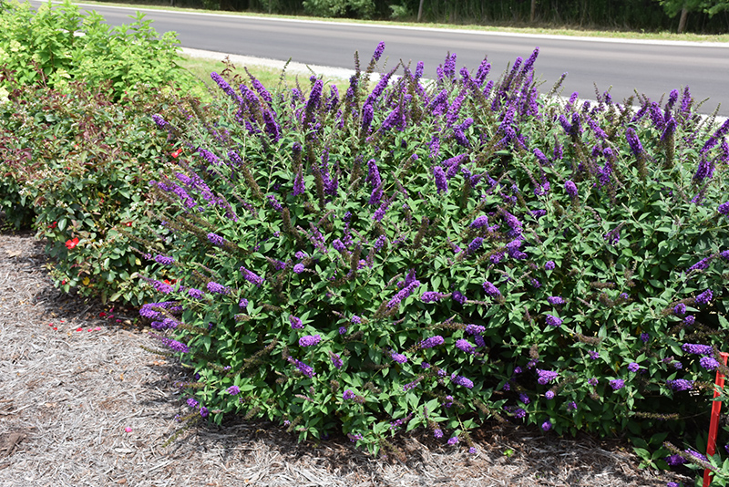 Miss Violet Butterfly Bush (Buddleia 'Miss Violet') at Wolf Hill Home & Garden
