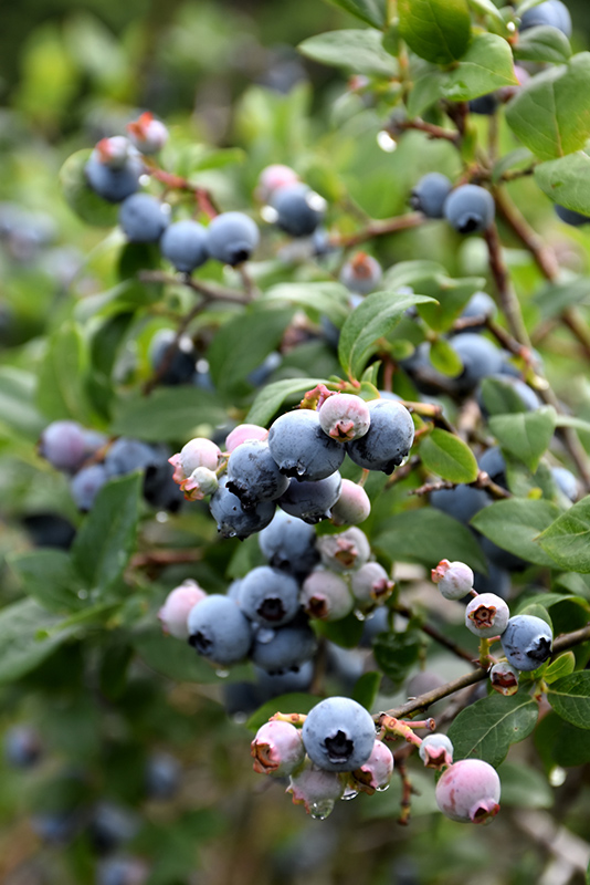 Blue Jay Blueberry (Vaccinium corymbosum 'Blue Jay') at Wolf Hill Home & Garden