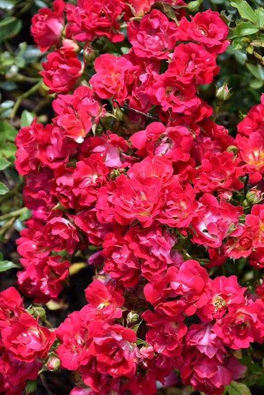 Red Drift Rose (Rosa 'Meigalpio') at Wolf Hill Home & Garden