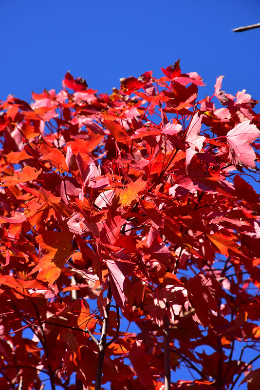 October Glory Red Maple (Acer rubrum 'October Glory') at Wolf Hill Home & Garden