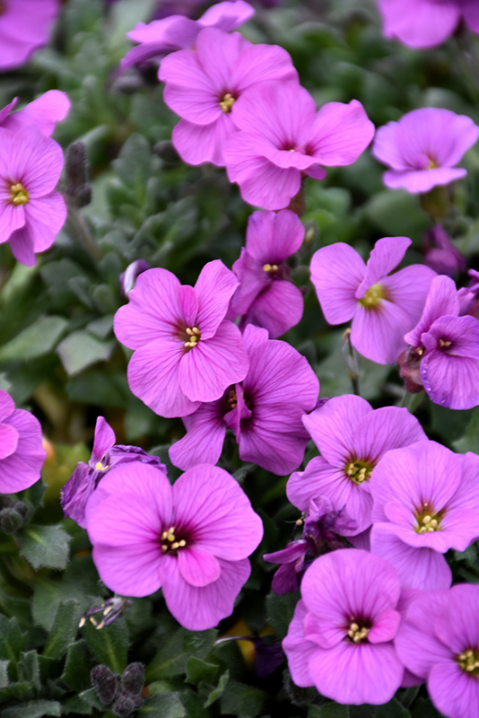 Axcent Antique Rose Rock Cress (Aubrieta 'Axcent Antique Rose') at Wolf Hill Home & Garden