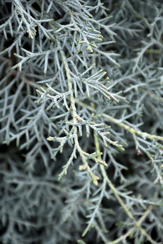 Carolina Sapphire Arizona Cypress (Cupressus arizonica 'Carolina Sapphire') at Wolf Hill Home & Garden