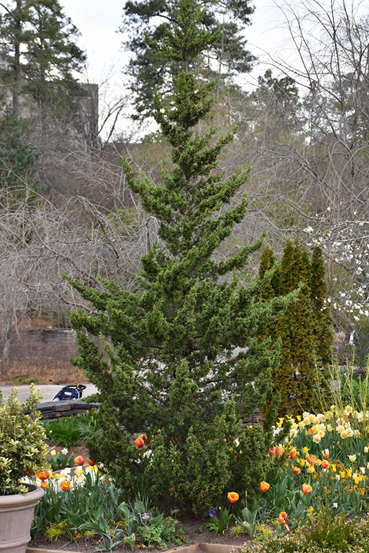 Trautman Juniper (Juniperus chinensis 'Trautman') at Wolf Hill Home & Garden