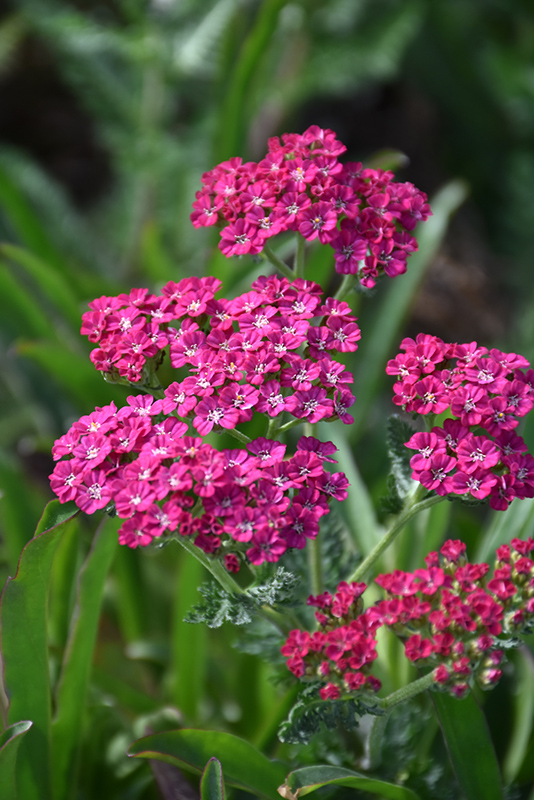 Ritzy Rose Yarrow (Achillea millefolium 'ACBZ0003') at Wolf Hill Home & Garden