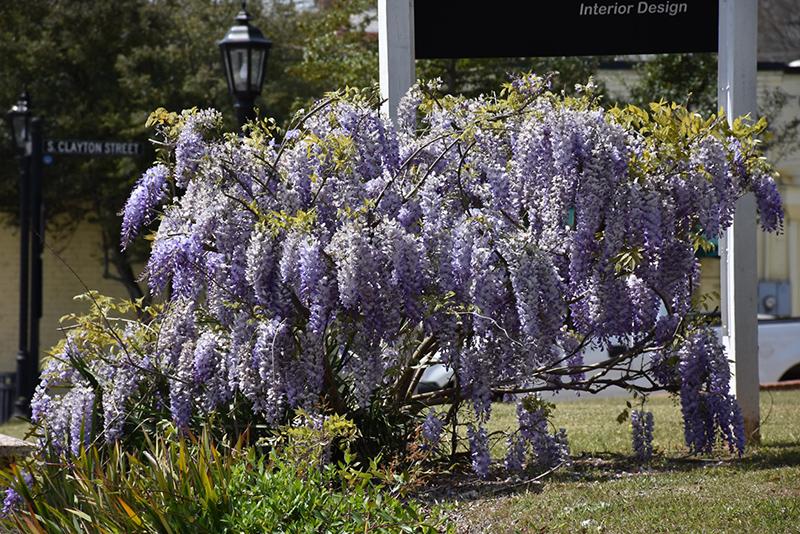 Japanese Wisteria (Wisteria floribunda) at Wolf Hill Home & Garden