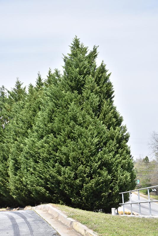 Leyland Cypress (Cupressocyparis x leylandii) at Wolf Hill Home & Garden