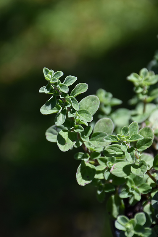 Sweet Marjoram (Origanum majorana) at Wolf Hill Home & Garden