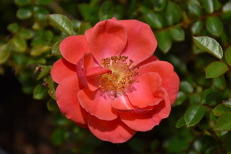 Oso Easy Mango Salsa Rose (Rosa 'ChewperAdventure') at Wolf Hill Home & Garden