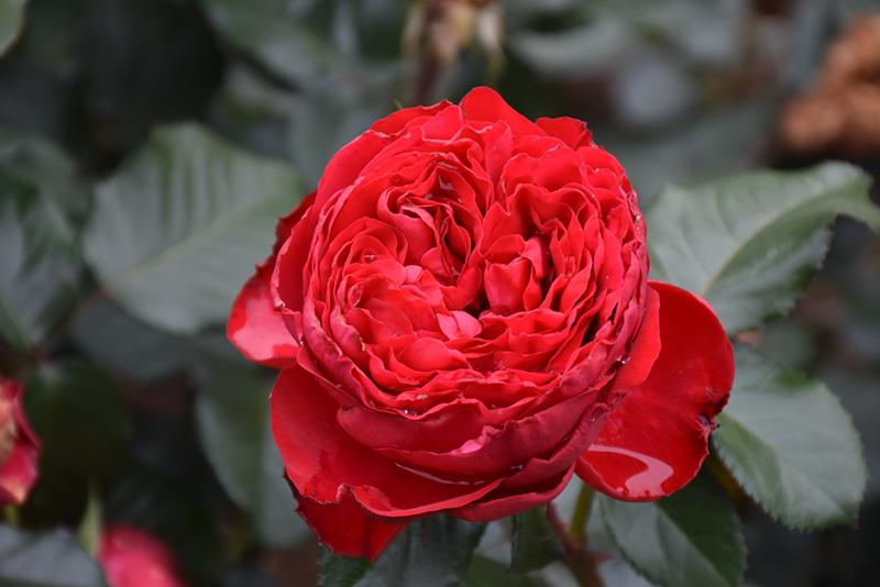 Traviata Rose (Rosa 'Meilavio') at Wolf Hill Home & Garden