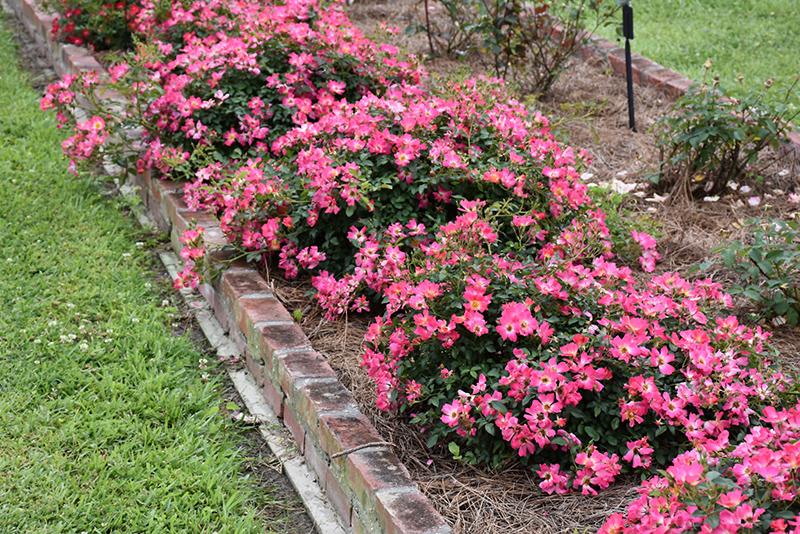 Pink Drift Rose (Rosa 'Meijocos') at Wolf Hill Home & Garden