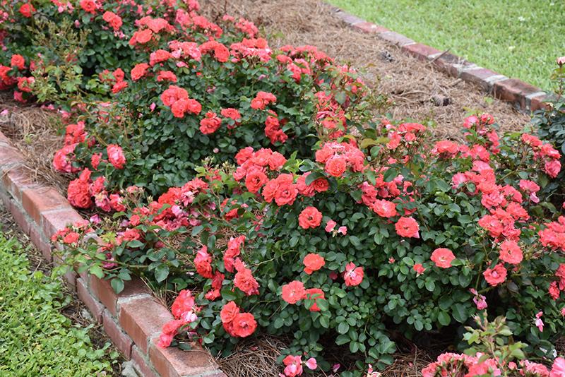 Coral Drift Rose (Rosa 'Meidrifora') at Wolf Hill Home & Garden