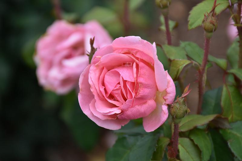 Peachy Keen Rose (Rosa 'Radgor') at Wolf Hill Home & Garden