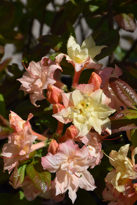 Cannon's Double Azalea (Rhododendron 'Cannon's Double') at Wolf Hill Home & Garden