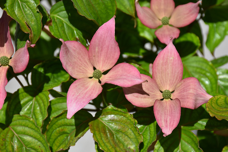 Rosy Teacups Flowering Dogwood (Cornus 'KN30-8') at Wolf Hill Home & Garden