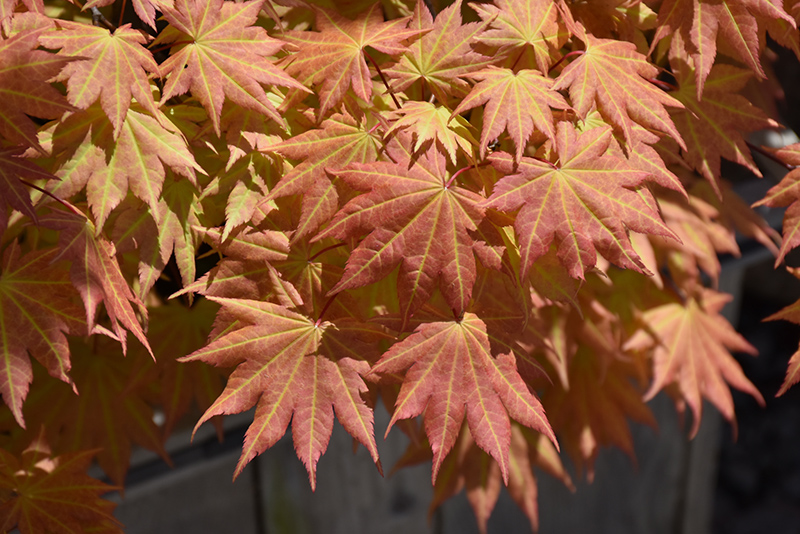 Autumn Moon Full Moon Maple (Acer shirasawanum 'Autumn Moon') at Wolf Hill Home & Garden