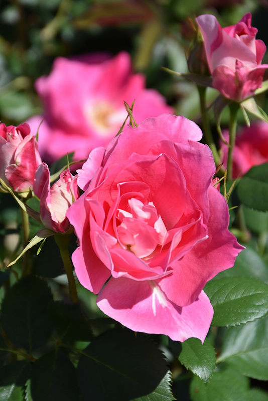 Carefree Wonder Rose (Rosa 'Carefree Wonder') at Wolf Hill Home & Garden